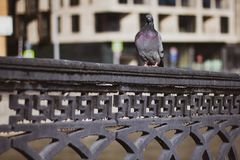 Gray dove sitting on a black twisted fence of the bridge against the urban landscape. Close up. City bird - Pigeon stock photography