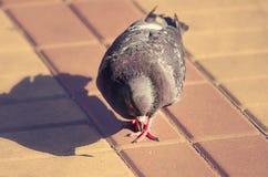 Gray Dove Stadsfågel royaltyfri fotografi