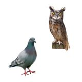 Gray dove, Standing pigeon, eagle owl sitting on. Log isolated on white Royalty Free Stock Photos