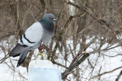Gray dove in the winter forest stock photo
