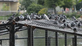 Gray doves in a birds park stock video footage