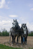 Gray Draft Horse Team Stock Photography
