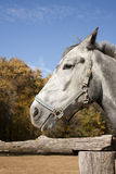 Gray draught-horse Stock Photo