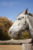 Gray draught-horse Stock Photo