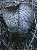 Gray dried leaf on the dried grass royalty free stock photos