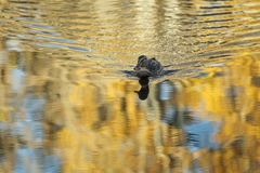 Gray duck. Swims on the water Stock Photos