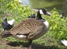 Gray duck on the grass Stock Photos