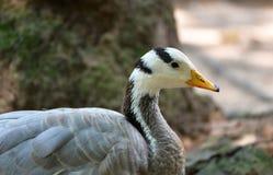 Gray duck Stock Photos