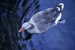 Gray duck swimming in blue lake. Bird aerial view Royalty Free Stock Photos