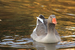 Gray duck swimming Royalty Free Stock Photography