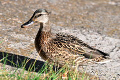 Gray duck walking Stock Image