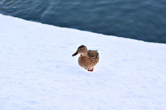 Gray duck walking on snow Royalty Free Stock Photos