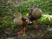 Gray_ducks royaltyfri fotografi