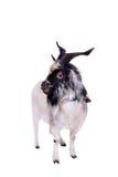 Gray dvarf goat on white Royalty Free Stock Image
