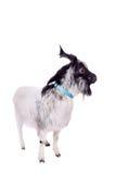 Gray dvarf goat on white Stock Images