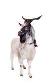 Gray dvarf goat on white Stock Photo
