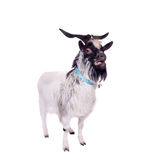 Gray dvarf goat on white Royalty Free Stock Photography