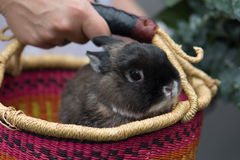 A gray dwarf bunny rabbit in a handmade basket held by a white woman& x27;s hand. A gray dwarf bunny rabbit peers out of a colorful & x28;pink, orange, yellow stock photos