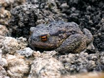 Gray earth toad woke up in the spring stock images