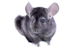 Gray ebonite chinchilla Stock Photos