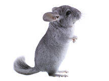 Gray ebonite chinchilla Royalty Free Stock Images