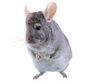 Gray ebonite chinchilla Royalty Free Stock Photography