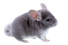 Gray ebonite chinchilla Royalty Free Stock Photography