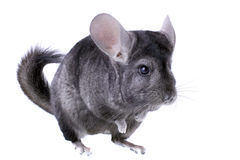 Gray ebonite chinchilla Stock Photography