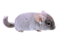Gray ebonite chinchilla Stock Photo