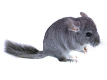 Gray ebonite chinchilla Royalty Free Stock Photo