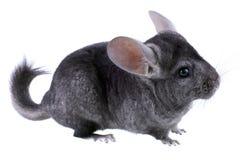 Gray ebonite chinchilla Stock Photography