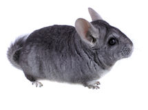 Gray ebonite chinchilla Stock Images