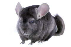 Gray ebonite chinchilla Royalty Free Stock Photos