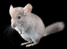 Gray ebonite chinchilla on black . Stock Photography