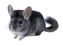 Gray ebonite chinchilla on white background. Stock Photos