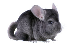 Gray ebonite chinchilla on white background. Royalty Free Stock Images
