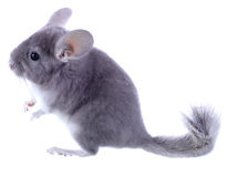 Gray ebonite chinchilla on white background. Royalty Free Stock Photography