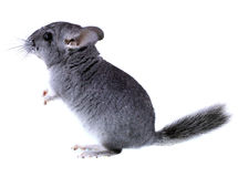 Gray ebonite chinchilla on white background. Stock Images