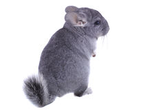 Gray ebonite chinchilla on white background. Royalty Free Stock Image