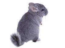 Gray ebonite chinchilla on white background. Isolataed Royalty Free Stock Image