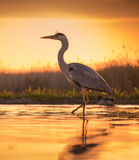 Gray egret in sunset royalty free stock photos