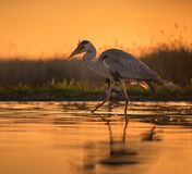 Gray egret in sunset royalty free stock image