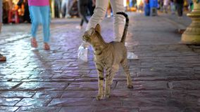 Gray Egyptian Cat Wanders sin hogar a través de la calle muy transitada nocturna de Egipto almacen de video