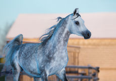 Gray elegant stallion of purebred Arabian breed Stock Photo