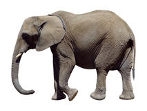 Gray Elephant Royalty Free Stock Images