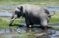 Gray elephant in Amboseli National park stock photo