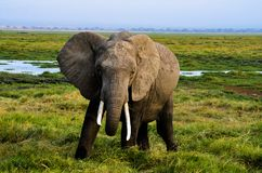 Gray Elephant on Green Grass Royalty Free Stock Photo