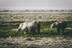 Gray Elephants on Green Grass Field Stock Photo