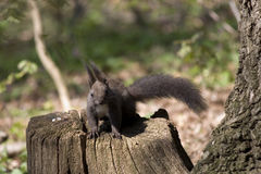 Gray Eurasian Squirrel su un ceppo fotografia stock