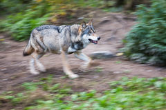 Gray/Eurasian wolf Royalty Free Stock Photography